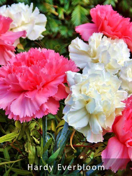 Carnation Hardy Everbloom